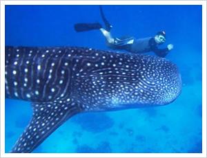 ジンベイザメと一緒に泳ぐ